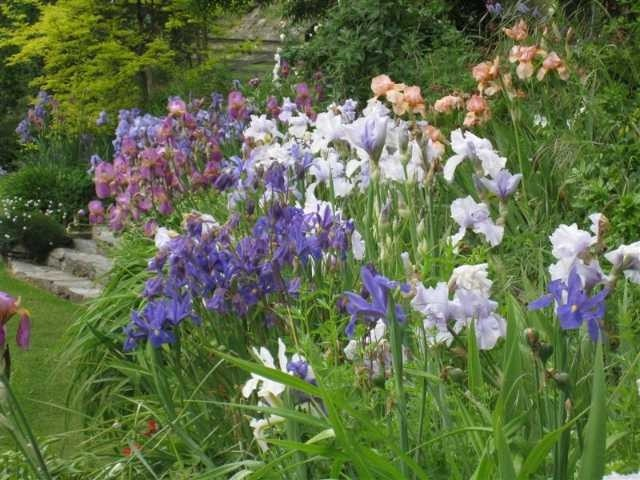 Irises in bloom in the Trelawn Place gardens