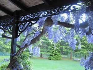 Pergola in bloom at Trelawn Place